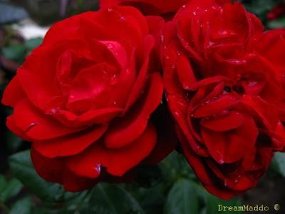 Röda rosor - skansen