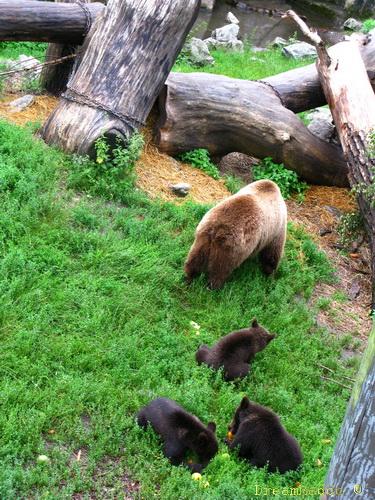 Björnungarna på skansen 2009